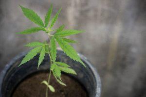 Legalidad de la tecnología para sembrar marihuana